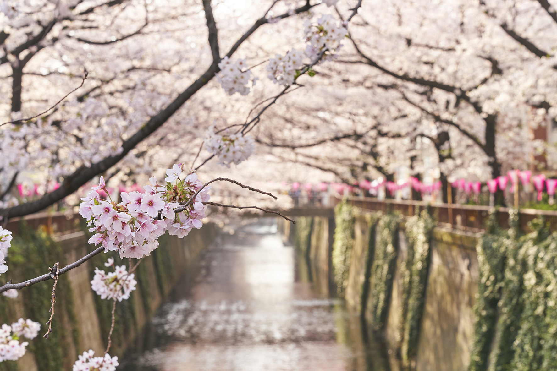 《目黒川2021》 下目黒でお花見&百段階段でオトナ散歩(ホテル雅叙園東京)